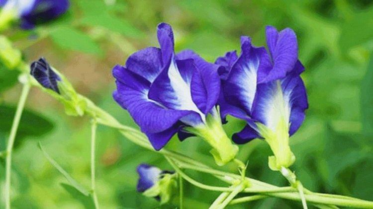 công dụng của hoa đậu biếc